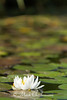 American White Waterlily vertical