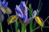 Wet Iris Petals 2