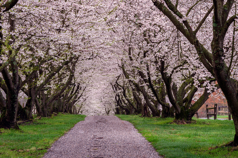 Endless Pink Cherry Blossoms