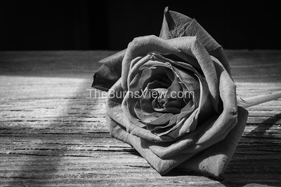 A rose in black and white