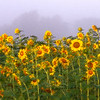 Sunflowers in the Fog
