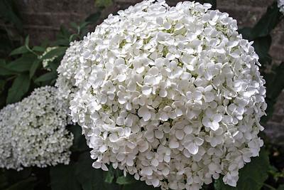 "Hydrangea Arborescens ""Annabelle"""