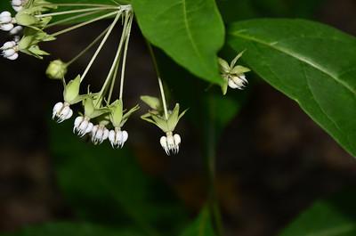 Apocynaceae -  Asclepias exaltata L. - Poke Milkweed
