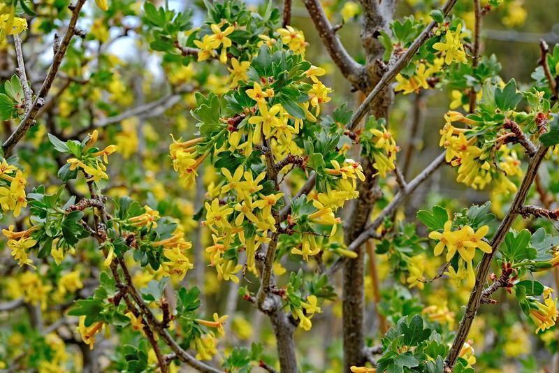 Currant Blossoms