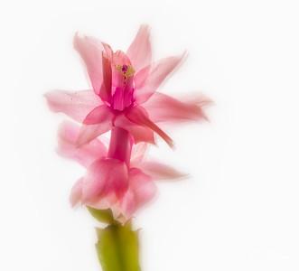 Pink Echnos