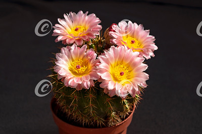 Four Perfect Pink and Yellow Cactus Flowers