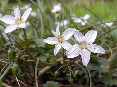The First Day of Spring (fairy-spuds - Claytonia virginica)