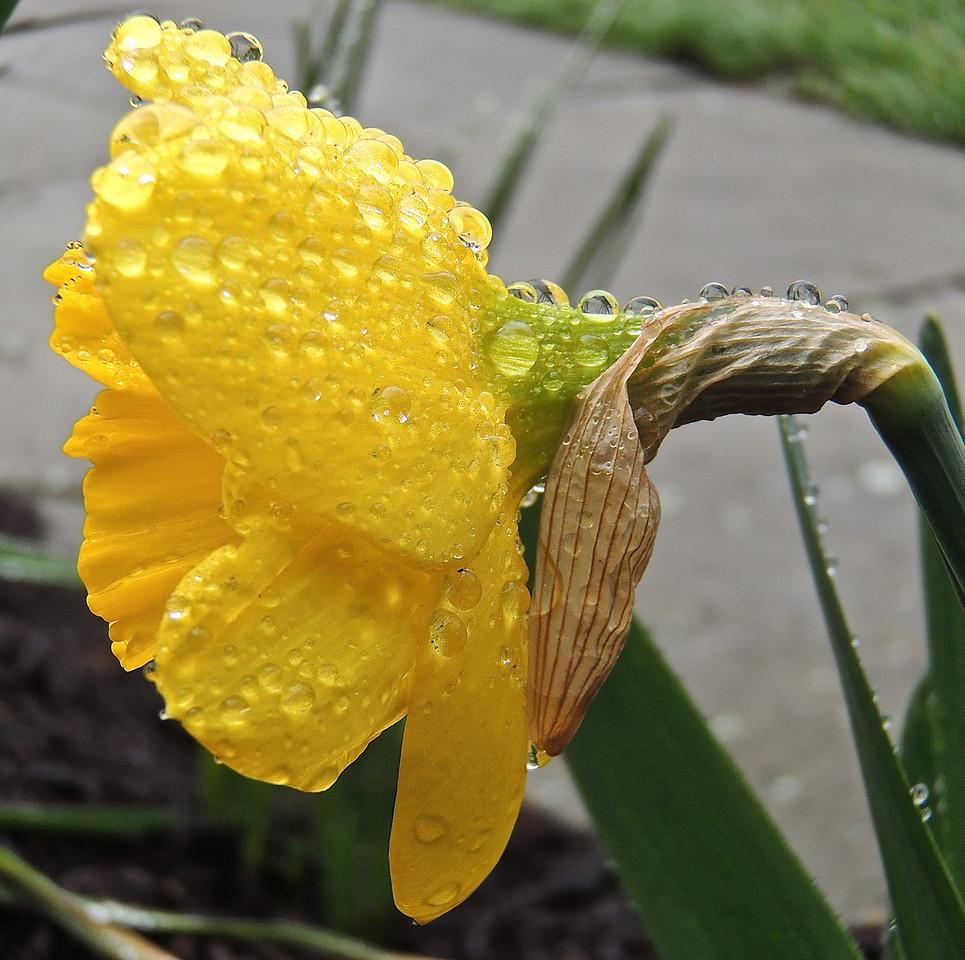 Soaked Daffodil II