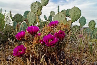 Hedgehog Cactus, Sonoran Desert, AZ