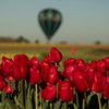 Red tulips at Wooden Shoe Tulip Farm