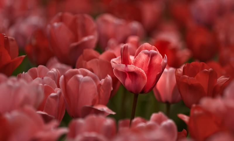 The Tulip Gardens No 1