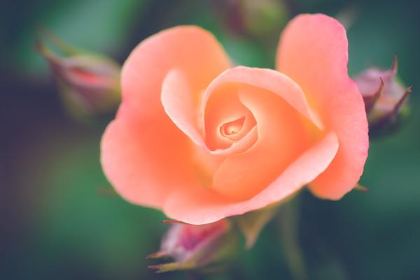 Louise Hay Hybrid Tea Rose