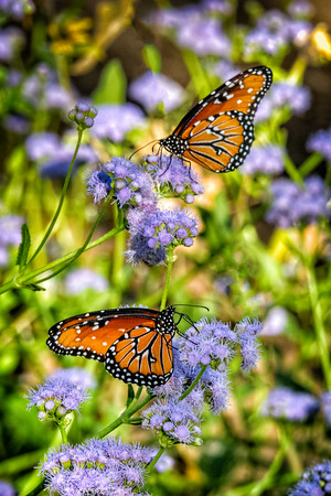 Monarchs at Boyce Thompson Arboretum