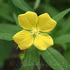 Narrow-leaf water primrose