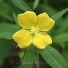 Narrow-leaf water primrose