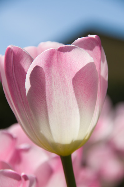 Single pink and white tulip