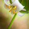 Catesby's Trillium (Bashful Wakerobin)