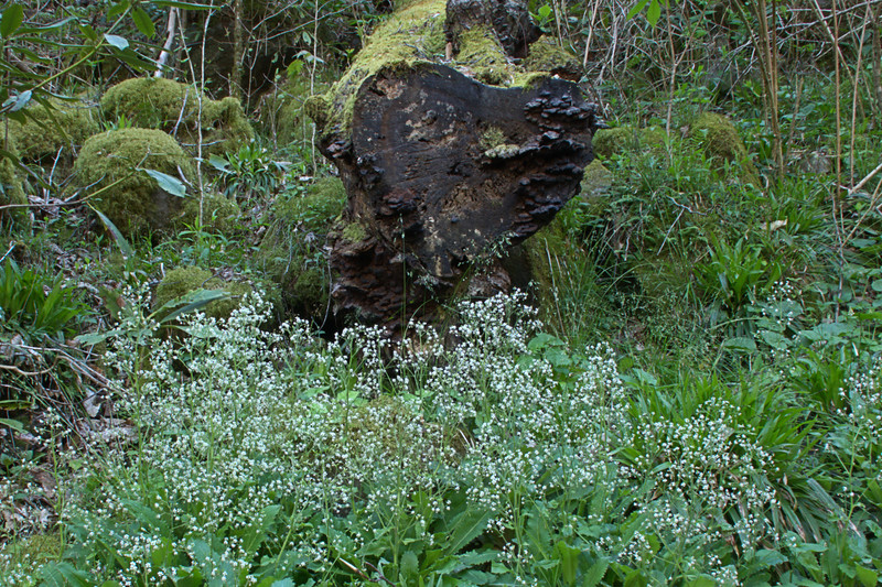 Saxifragaceae -  Micranthes micranthidifolia - Brook Lettuce