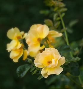 Yellow rose bundle