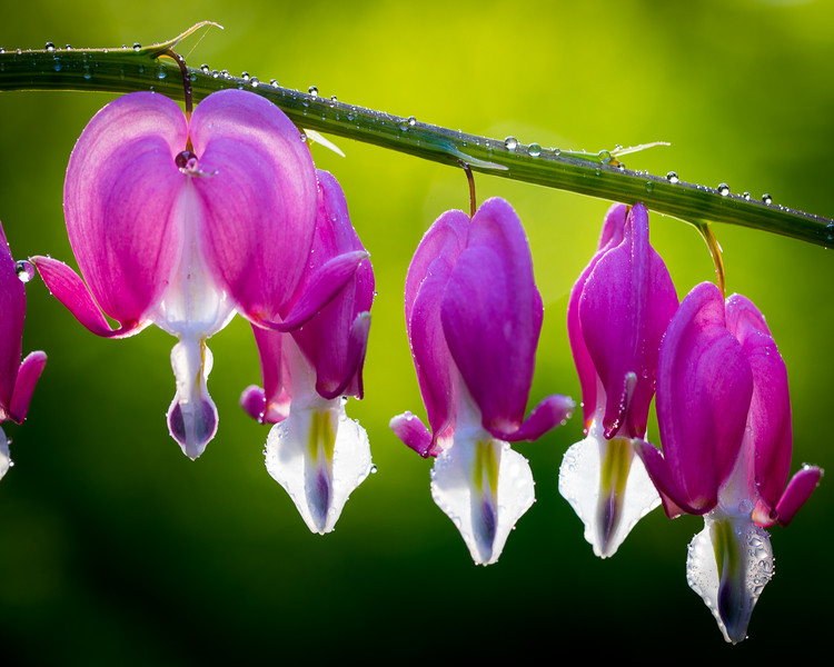 Bleeding Hearts with morning dew