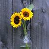 Sun Flowers #447
