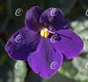 Classic Purple African Violet