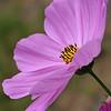 Cosmo Wild Flower 236