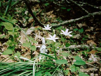 Wood Anemone, I Think