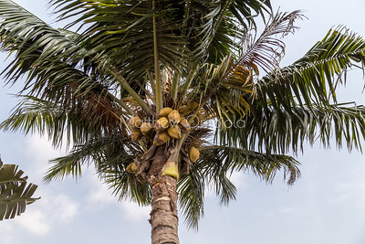 Coconut fruits on the tree. Lekki Lagos Nigeria.