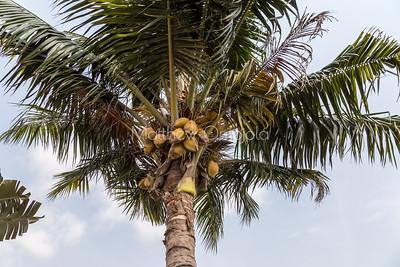 Coconut fruits on the tree. Lekki Lagos Nigeria.