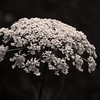 Queen Anne's Lace; Wild Carrot