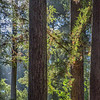 Late Afternoon Light, Henry Cowell State Park