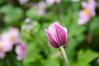 Japanese Anemone bud