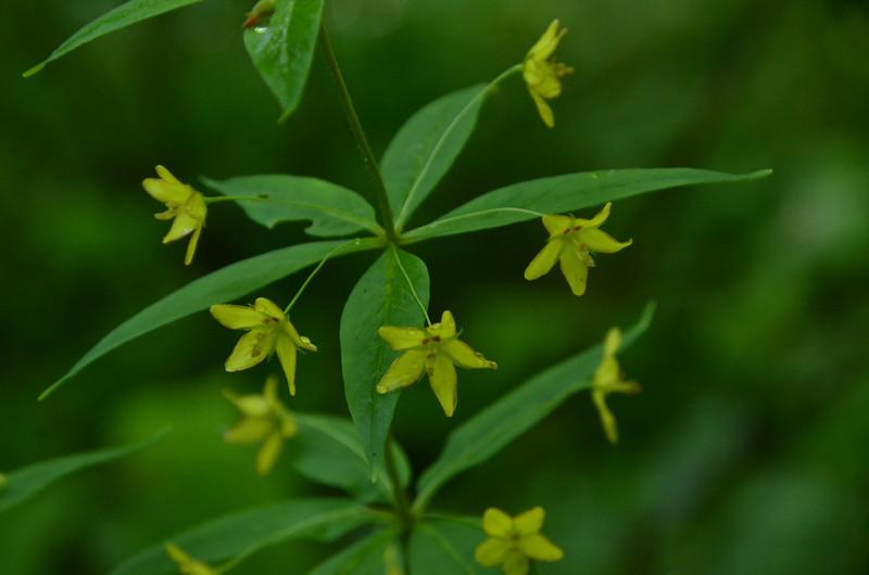 Primulaceae -  Lysimachia quadrifolia - Whorled Loosestrife