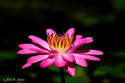 Water lily. I
