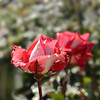 Beautiful red rose with rain drops on  petals.
