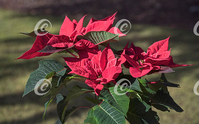 A Bright Red Poinsettia Growing in a Natural Grassy Setting