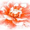 blushing bloom ...