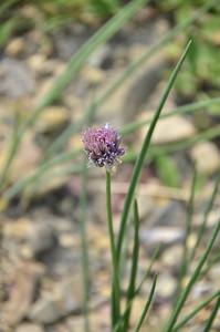 Amaryllidaceae -  Allium schoenoprasum - Wild Chives