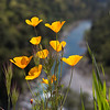 Tufted Poppies & American River