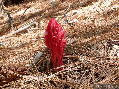 Snow Plant in Yosemite California