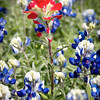 Indian Paintbrush - bluebonnets