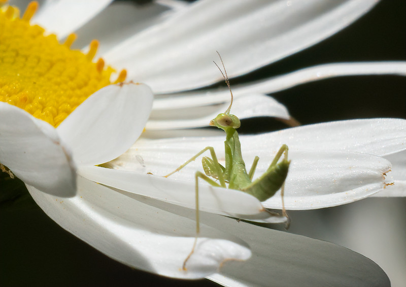 Baby Praying Mantis on Daisy
