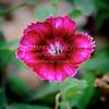Dianthus-1