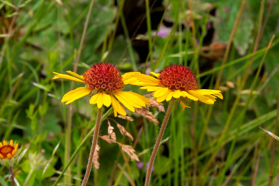 Palouse Wildflowers