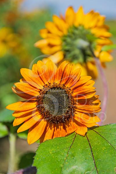 TLD_Sunflowers vertical