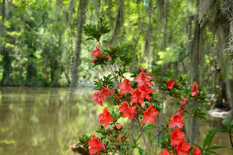Azaleas flowers blooming by the lake,.