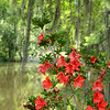 Azaleas flowers blooming by the lake,.