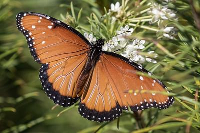 Queen Butterfly, Tohono Chul Park, Tucson, AZ