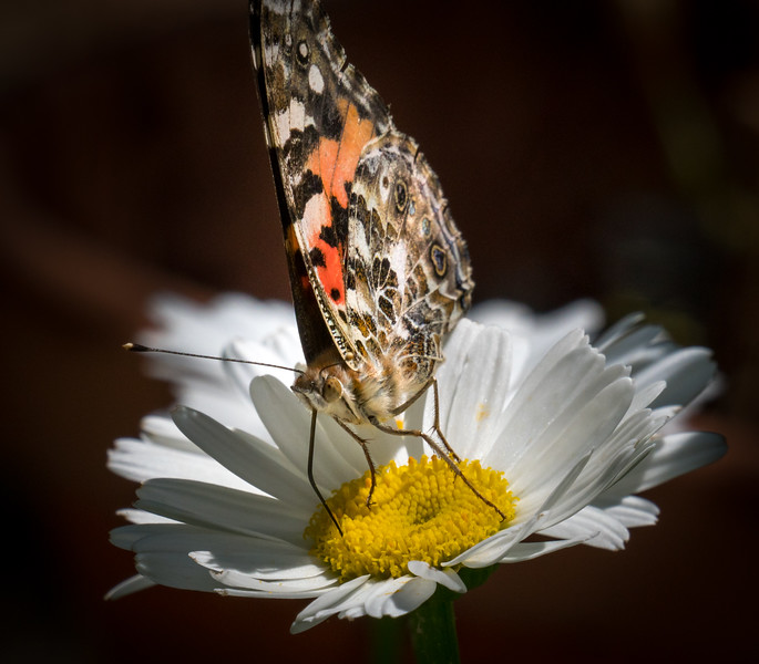 Butterfly on Daisy 1414